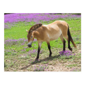 Przewalski Horse Postcard