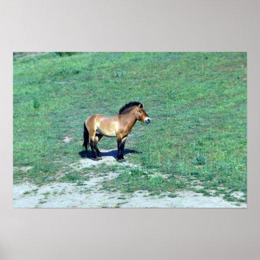 (Przewalskii) caballo salvaje mongol Póster