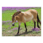 Przewalskii Horse Poster