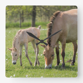 Przewalski's Horse and foal grazing Square Wall Clock