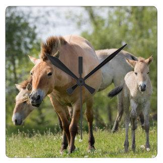 Przewalski's Horse and foal walking Square Wall Clock