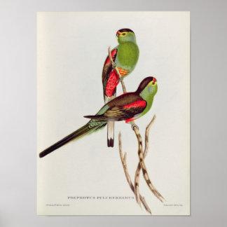 Psephotus Pulcherrimus Poster