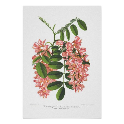 Pseudo-acacia del Robinia Poster