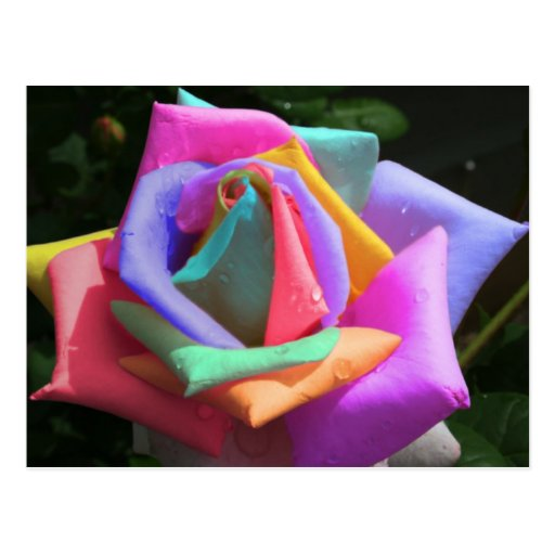 Psychedelic Rainbow Rose Postcard