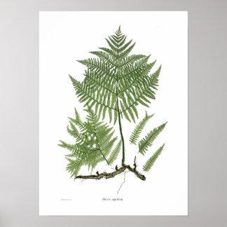 Pteridium aquilinum poster