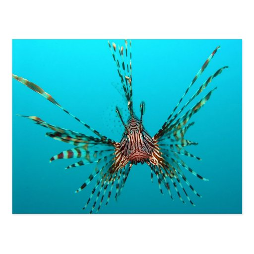 Pterois común Volitans del Lionfish Postales