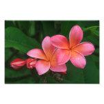 Pua Melia Tropical Plumeria Photo Print