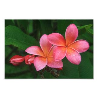 Pua Melia Tropical Plumeria Photograph