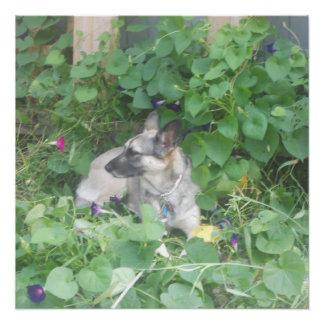 """Puddin' "" the German Shepherd Enjoying the flower Poster"