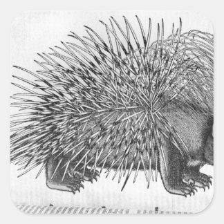 Puerco espín, de 'Historia Animalium Pegatina Cuadrada