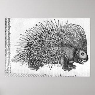 Puerco espín, de 'Historia Animalium Póster