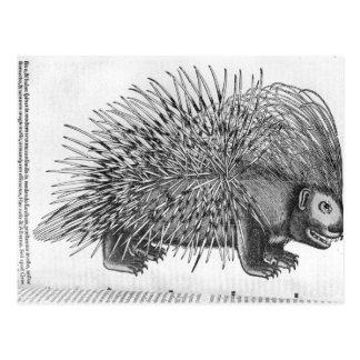 Puerco espín, de 'Historia Animalium Tarjeta Postal
