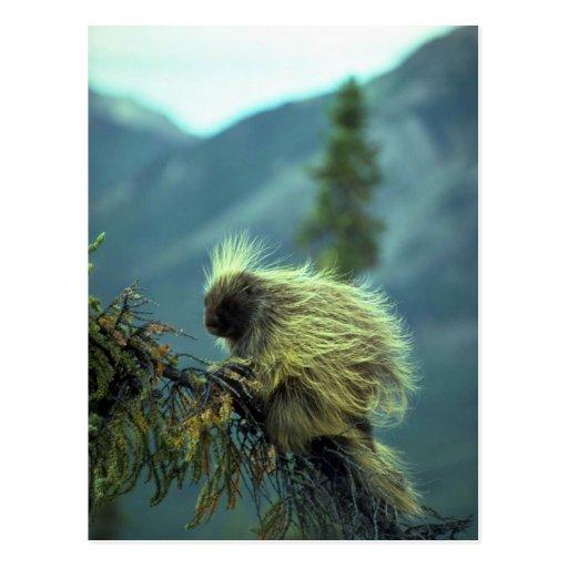 Puerco espín en un árbol spruce, NWT, Canadá Postal
