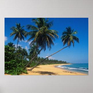 Puerto Rico, Isla Verde, árboles de palma Póster
