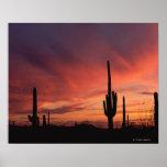 Puesta del sol de Arizona sobre los cactus del sag Póster