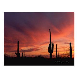 Puesta del sol de Arizona sobre los cactus del sag Tarjetas Postales