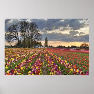 Puesta del sol en la granja del tulipán en el post