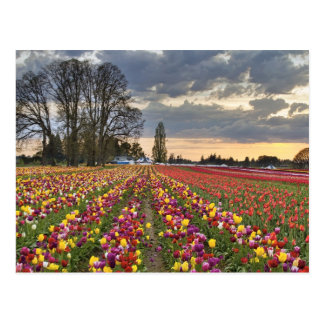 Puesta del sol en la postal de la granja del tulip
