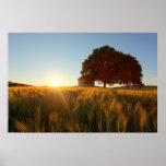 Puesta del sol sobre campo de trigo poster