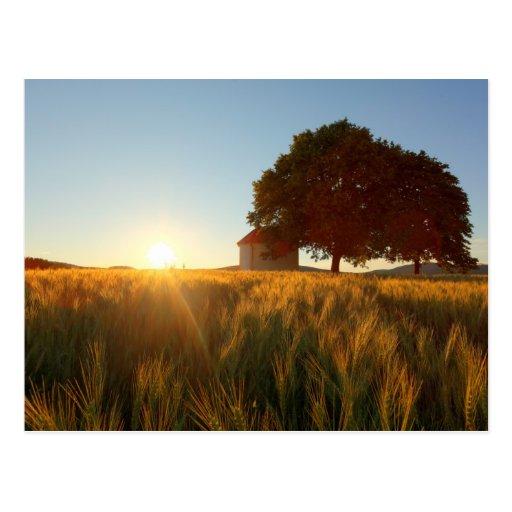 Puesta del sol sobre campo de trigo tarjetas postales