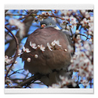 Puffed up wood pigeon poster