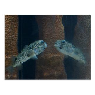 Puffer Fish Mirage Postcard
