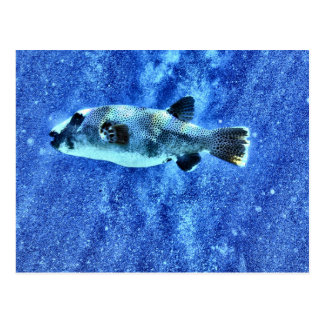 Puffer Fish Postcard