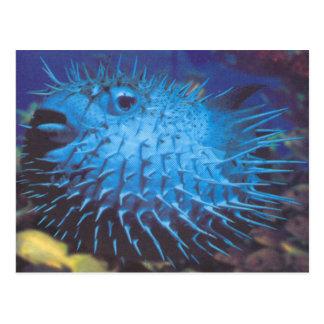 Pufferfish Postcard