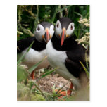 Puffin Couple Postcard