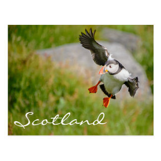 Puffin flying in Scotland text postcard