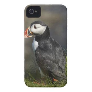 Puffin (Fratercula arctica), Staffa, off Isle of Case-Mate iPhone 4 Cases