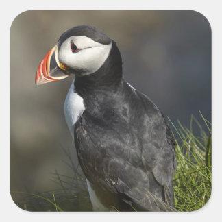 Puffin (Fratercula arctica), Staffa, off Isle of Square Sticker