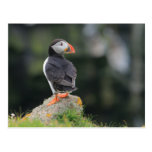 Puffin on a Rock Postcard