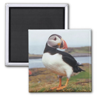 Puffin Perched 2 Inch Square Magnet