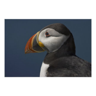 Puffin Portrait with Blue Sky Poster