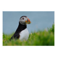 Puffin with Nesting Material print