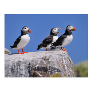 Puffins on the Farne Islands post card