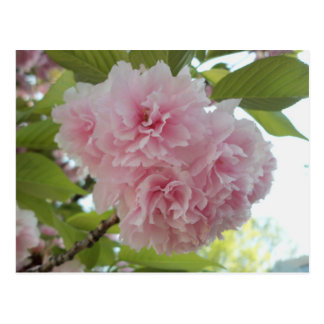 Puffy Pink Blossom Postcard