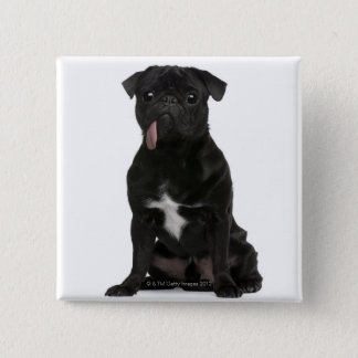 Pug (1 year old) sitting with its tongue hanging button