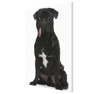 Pug (1 year old) sitting with its tongue hanging canvas print