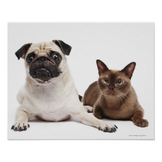 Pug and Burmese cat Poster