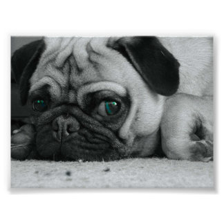 "Pug ""Breena"" Posters"