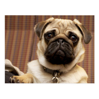 Pug dog adorable, cute photo Postcard