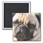 Pug Dog Breed  Magnet Fridge Magnets