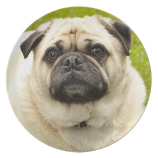 Pug dog cute dog beautiful photo, gift plate