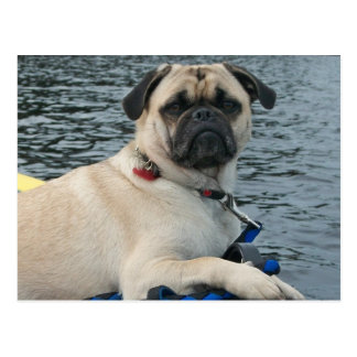 Pug Dog on the Water Postcard