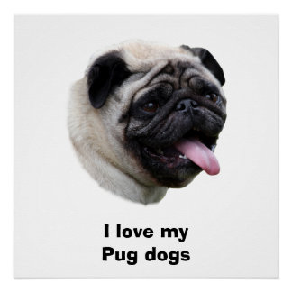Pug dog pet photo portrait poster