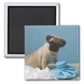 Pug dog sitting on bed by hot water bottle and 2 inch square magnet