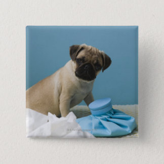 Pug dog sitting on bed by hot water bottle and pinback button