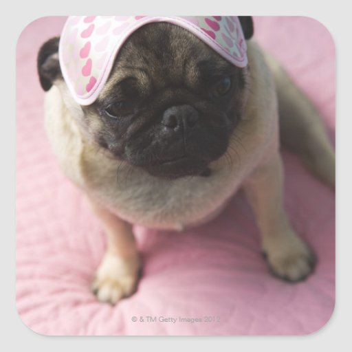 Pug dog with eye mask on head sitting on bed, square stickers